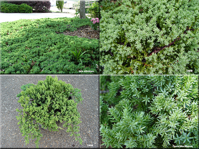 "Juniperus procumbens 'Nana"""