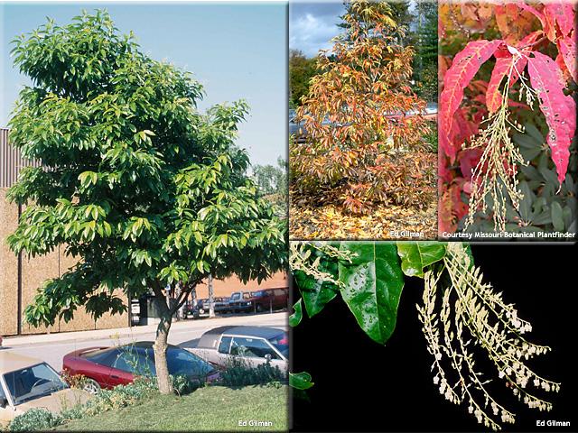 Oxydendron arboreum