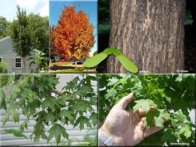 Acer barbatum