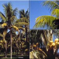 Cocos nucifera 'MalayanDwarf'