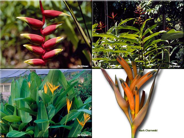 Heliconia spp.