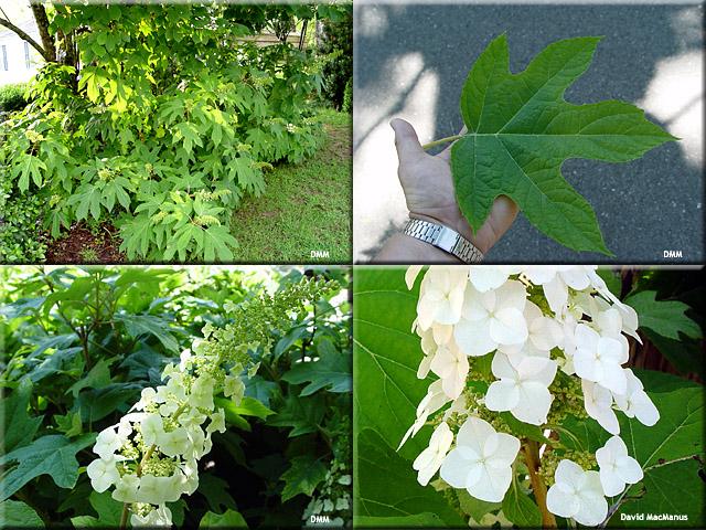 Hydrangea_quericifolia
