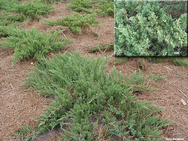 Juniperus davurica 'parsonii'