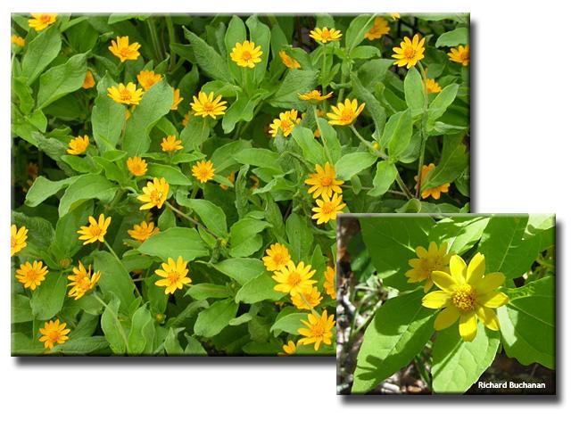 Melampodium paludosum