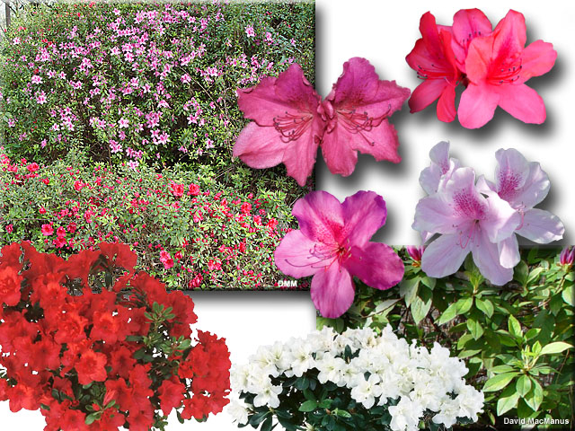 Rhododendron spp
