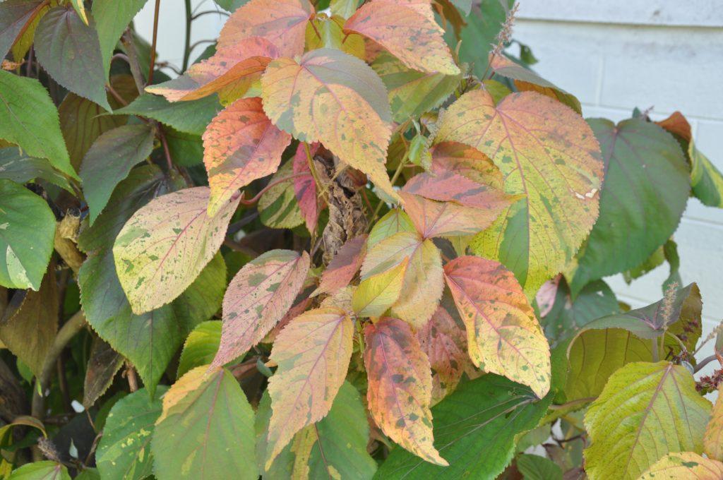 Acalypha Wilkesiana Copperleaf Plant Id